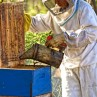 Beekeeping is an art and essential for local farms